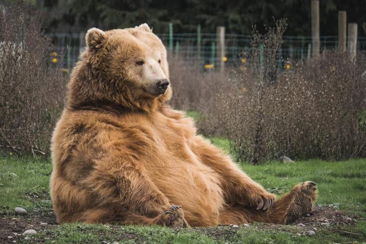will a bear attack a human