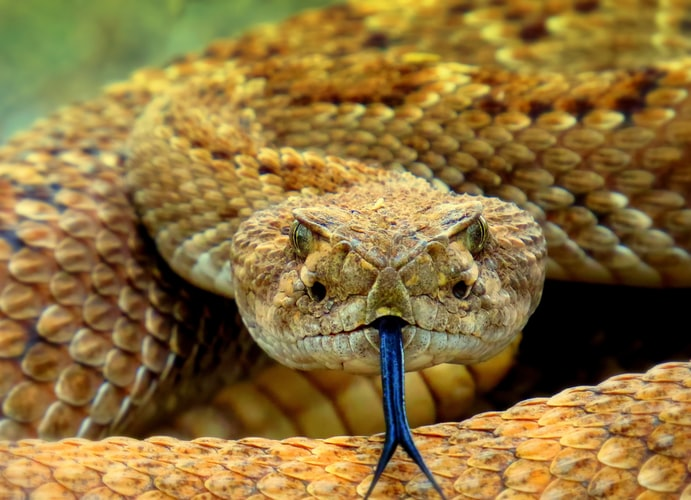 what does a rattlesnake bite look like