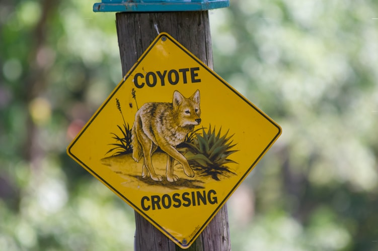 can i shoot coyotes on my property